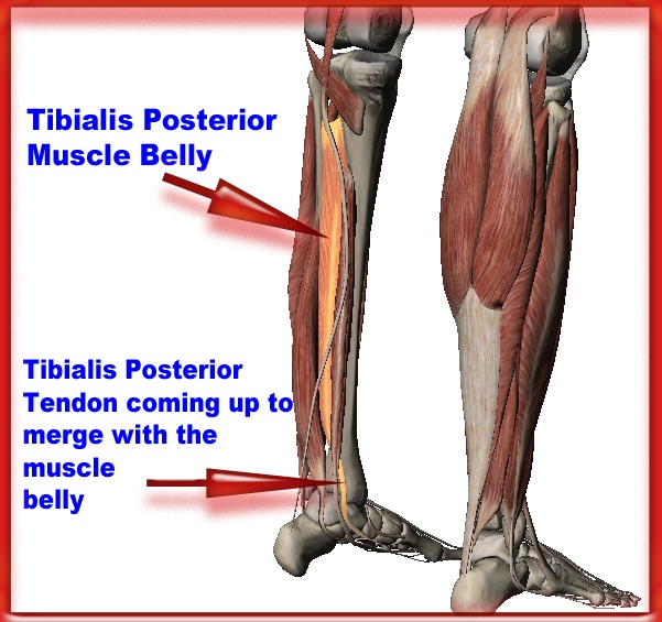 Anatomy of tibialis posterior