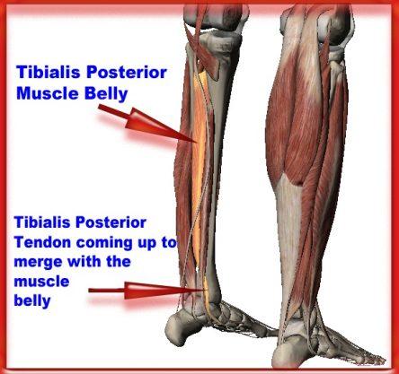 Anatomy of tibialis posterior
